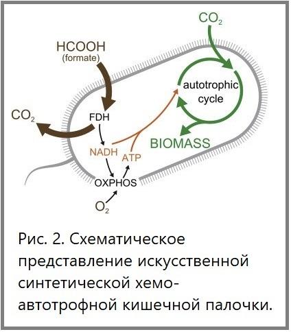 E.coli_autotroph